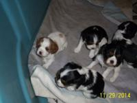 Cavalier King Charles Spaniel Puppies. 2 Tr-color