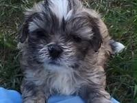 Simply beautiful and playful Christmas Cuties Shih Tzu