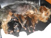 Five adorable Dorkies (Dachshund / Yorkie) puppies.