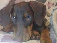 Beautiful female Doberman puppy. She is 8 weeks old