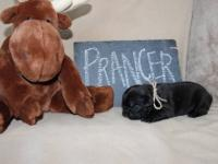 BEAUTIFUL FRENCH BULLDOG PUPPIES READY FOR THEIR NEW