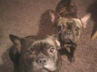 Purebred frenchie young puppies - no documents - due in