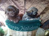Christmas Shih Tzu, Males, 3mos. old. Cute,Very Furry,