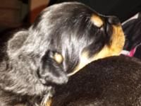 We have German Rott Pupps born October 23 ~~ Will be