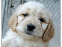 We have English Golden Doodle puppies ready now, both