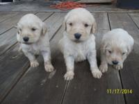 Gorgeous Goldendoodle puppies which will certainly