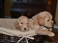 GREAT CHRISTMAS PUPPIES 2 MALES AND 2 FEMALES TO CHOOSE