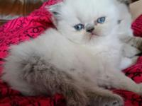 Beautiful Blue Point Himalayan male kitten. Accepting
