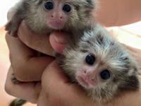 Cute and adorable marmoset monkey for sale male and