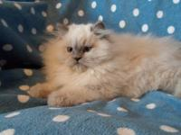 New kittens have arrived at VintageJade, please view