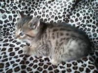 BENGAL KITTENS,. We have 1 brown/black marbled kid and