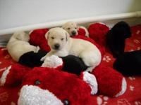 CHRISTMAS LAB PUPPIE, 4 BLACK FEMALES,1 YELLOW FEMALE 2