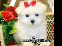 A Maltese puppy will be the best gift for your family