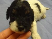 RESERVE YOUR CHRISTMAS MINIATURE LABRADOODLE PUPPY