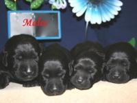 Chocolate and Black Labrador Retriever puppies born on