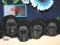 Chocolate and Black Labrador Retriever puppies born on