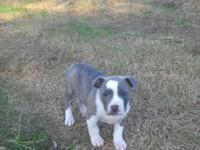 I have 3 young puppies for sale. The reverse blue