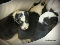 AKC Registered Sheltie puppies-Just in time for