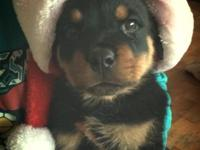 We have a stunning litter of rottweiler young puppies