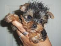 some real small ones ... 2 litters ready Dec 10-13th, 6