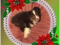 Red tri toy Australian shepherd male. Up to date on