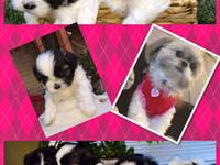 Hi, I have two Adorable littile male shih tzu Left
