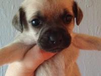 Little male Pug/Yorkie/Chihuahua mix puppy ready with
