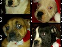 Puppies Born 10/3/14 (11weeks) 3 Boys  2 Girls Have had
