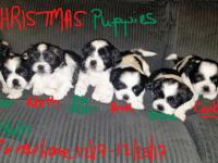 Christmas shih tzu puppies 2 females 5 males will be