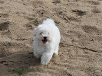 Price reduced to $800. Havanese puppies are bouncing