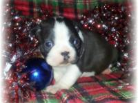 CKC Female Boston Terrier. Father is a 13lb black and
