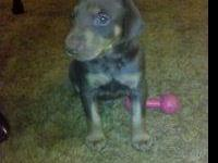 Doberman puppies reduced from 800.00 NOW 550.00 don't