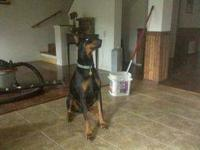 Doberman puppy reduced from 800.00 NOW 550.00 don't