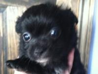I have a lovely litter of 2 male Pom-Chi's. One is