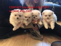 These beautiful litter of Toy white Pomeranian puppies