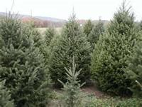 U-CUT CHRISTMAS TREES at CAROUSEL TREE FARM OPEN DAILY