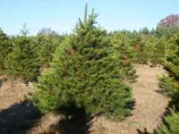 REAL Christmas Trees! Beautiful Virginia Pines. Growing