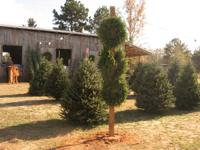 Jubilee Farm is selling Christmas trees again this