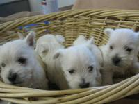 AKC Westie puppies, just in time for Christmas. Will be