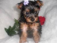 Christmas Puppies $350.00-$550.00. Several to choose