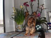 Christmas yorkie puppies Purebred Teacup male/female