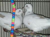 Beautiful Ringneck Doves all set for Christmas. Pay