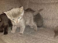 Available kittens 2 gray 1 black It been Vacinne and