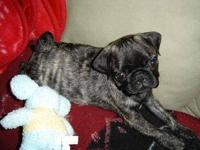 Chubby Pug pups are 9wks & now ready for new homes.