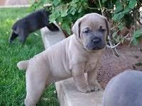 Cane Corso puppies for sale. All current on shots.