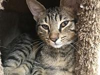 Chuck's story Chuck is a sweet and fun, grey tabby,