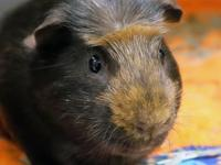 Meet Chuck, a two-year-old guinea pig looking for a