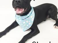 Meet Chuck!  Chuck is a lab mix pup who is ready for an