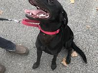 Chuck's story Meet Chuck! He is a 1 year old lab who