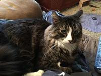 Chuck's story This Main Coon is large, loving and